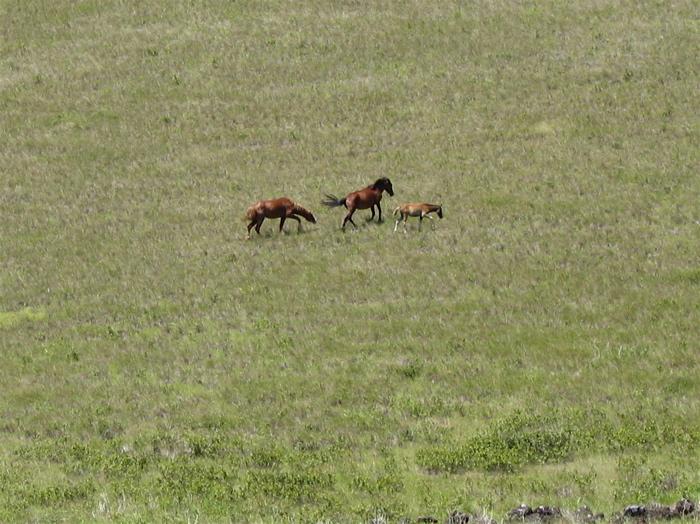 chevaux en totale liberté