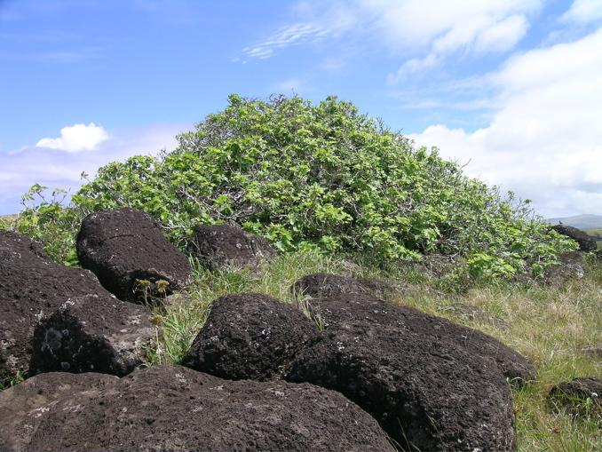 arbustes figuiers