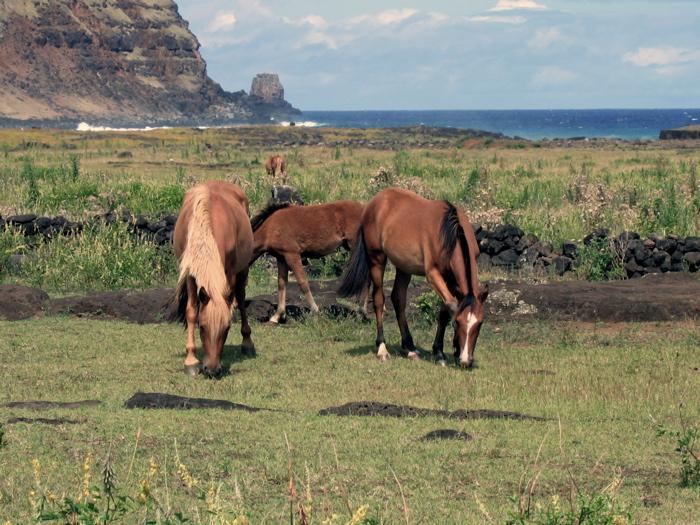 chevaux en liberté au Tongariki