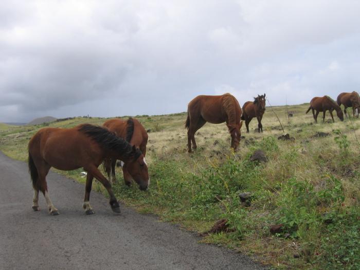 chevaux à Rapa Nui