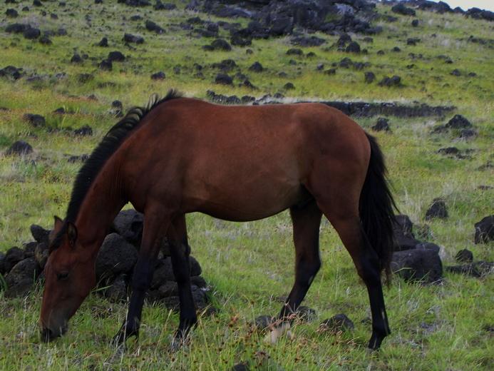Chevaux de Rapa Nui
