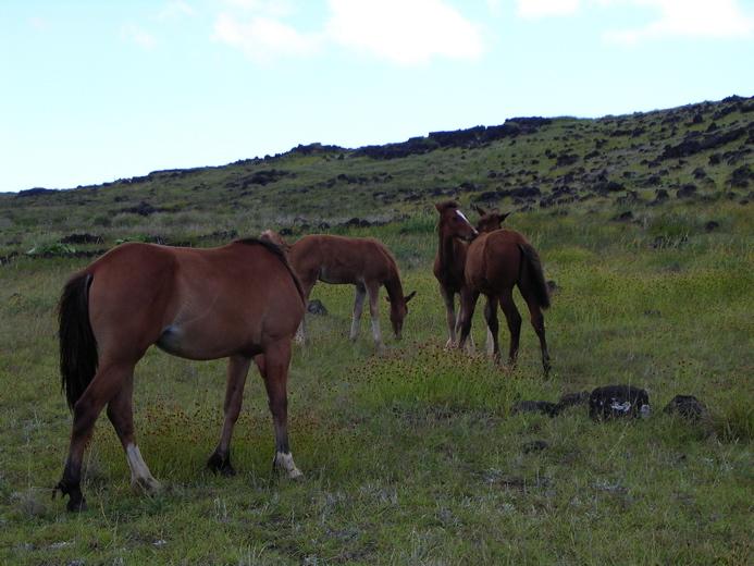 Rapa Nui et ses chevaux en liberté