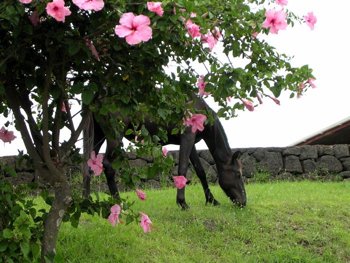 Rapa Nui : proche du musée, cheval, hibiscus