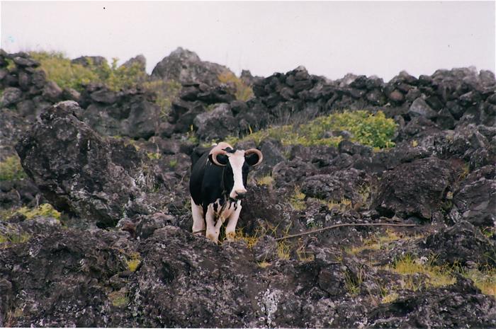 vache solitaire ...