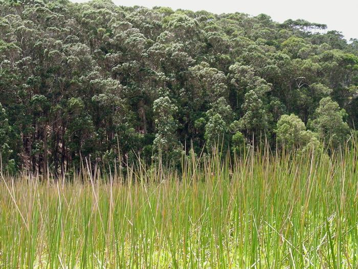 gros plan sur les roseaux, au fond la forêt d'eucalyptus
