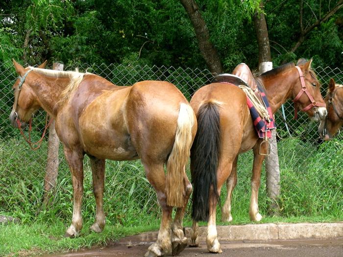 les chevaux attendent ...