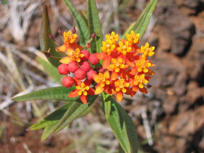 Asclépiade de curaçao (Asclepias curassavica)